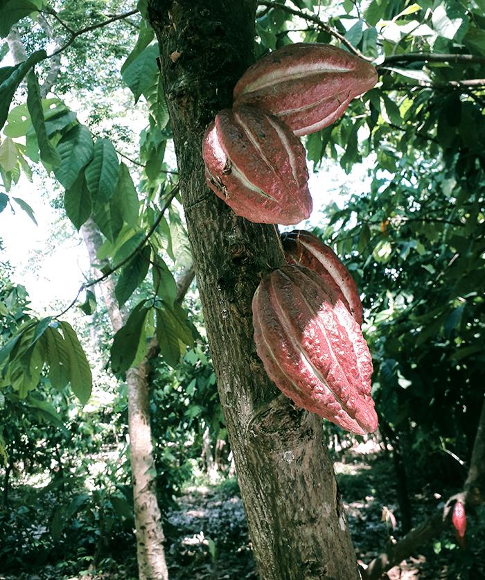 cacaomada4